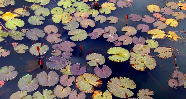 lily_pond