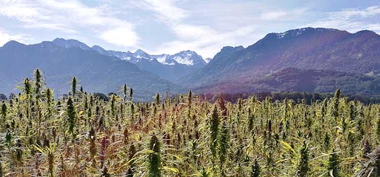 cannabis plants in Tibet